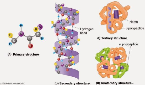 Protein : Pengertian, Struktur, Jenis, Funsi dan Proses Pencernaan