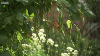 Edible Garden Beans