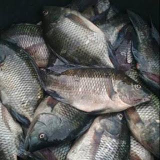Cari Info Harga Supplier Jual Ikan Nila Bibit dan Konsumsi Gorontalo