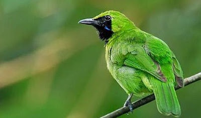 7 Tips Dan Cara Agar Burung Cucak Ijo Mini Cepat Gacor Paling Akurat