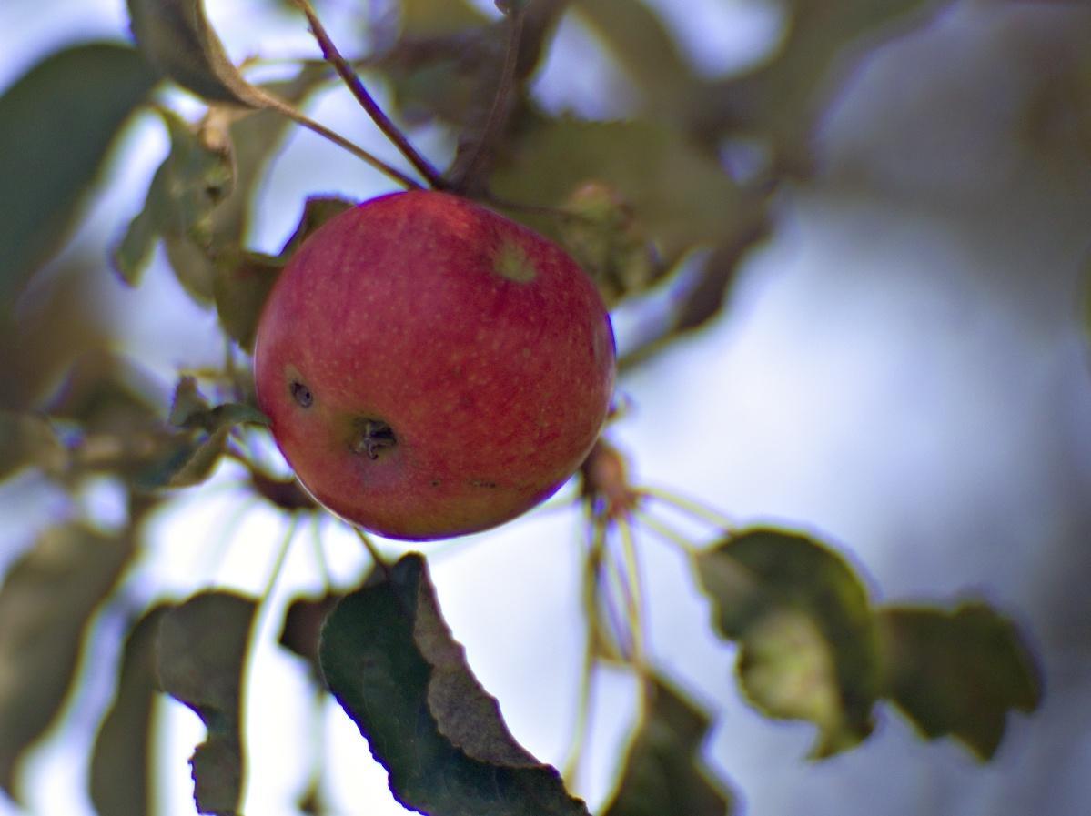 Bild der Woche #40 (KW40/2020) – Roter Apfel