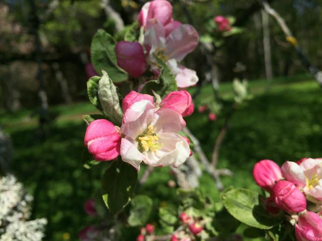 Äppelblom