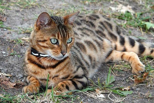 القطط البنغالية Bengal cat