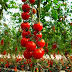 World Bank: Albania in the top 20 countries for tomato exporting