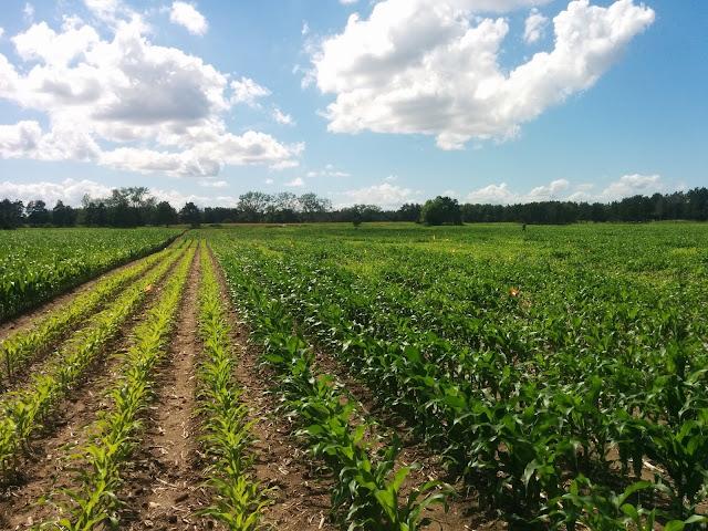 Field trial Minnesota sensor-based nitrogen management coarse-textured soils