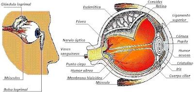 Dibujo de la vista del cuerpo humano indicando sus partes (Vista lateral o de perfil)