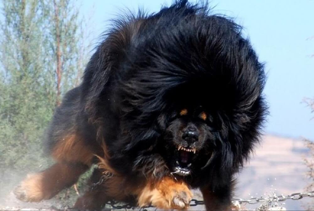 التبتي، الدرواس وهو كلب ضخم جدا