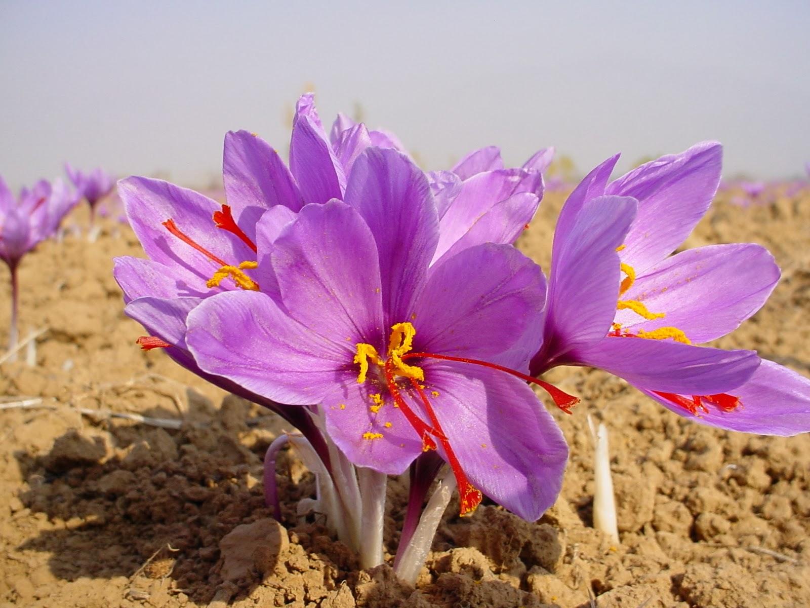 A Blog of Scenic Nature - Beautiful Creations of God ...Kashmiri Saffron Bulbs