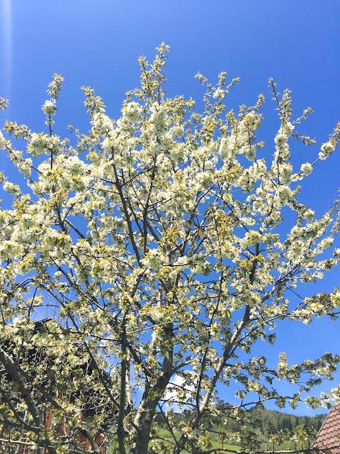Kirschbaum, Blüte, Sakura, Blauer Himmel