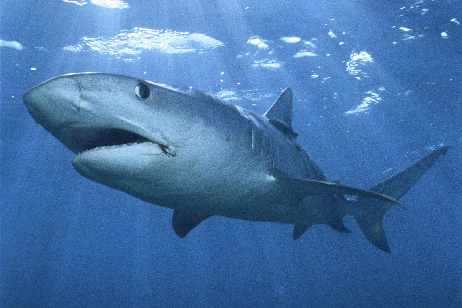 Beautiful Wallpapers: shark desktop wallpaper