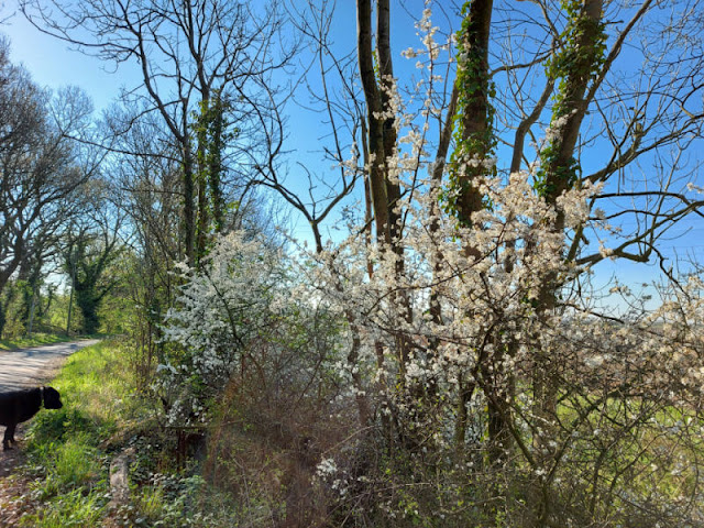 White blackthorn flowers on a tree