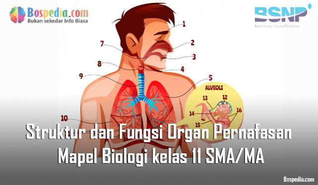 Materi Struktur dan Fungsi Organ Pernafasan Mapel Biologi kelas 11 SMA/MA