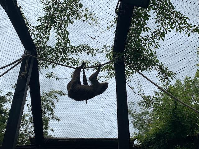 Sloth climbing across a rope