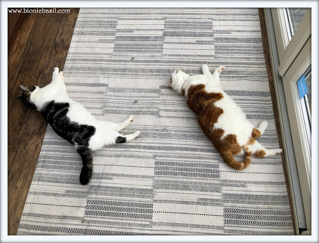 Amber and Melvyn Synchronised Snoozing - slightly out of phase @BionicBasil The Pet Parade 292