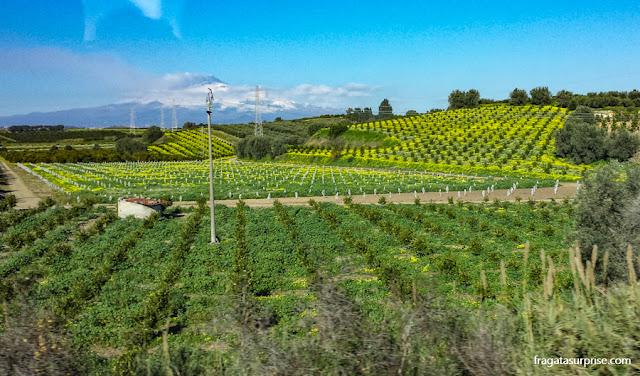 Plantação de limão na Sicília