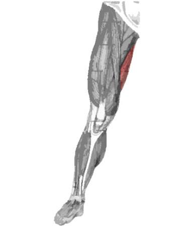 Músculo gracilis remarcado color rojo