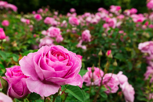 Cara Mudah Merawat Bunga Mawar Agar Rajin Berbunga Dan Lebat