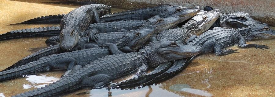 Alligators o caimanes en Gatorama