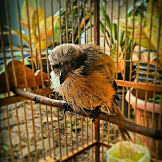 Tips Menangani Burung yang Stres dan Ngedrop Tips Menangani Burung yang Stres dan Ngedrop