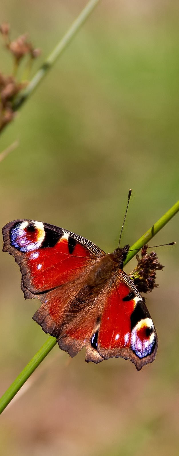 A peacock butterfly on a reed.