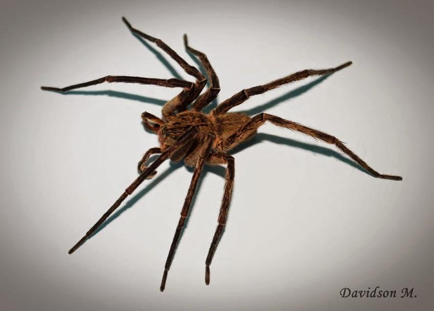 Image result for aranha armadeira