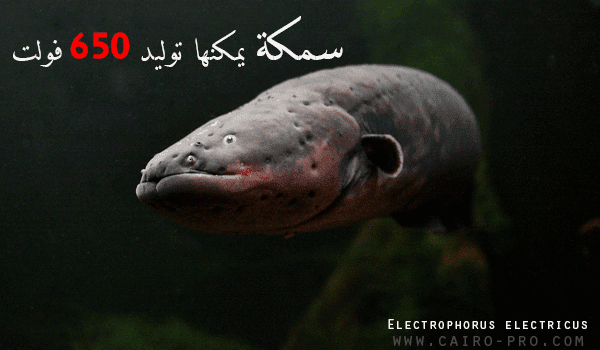 سمكة أنقليس رعاد