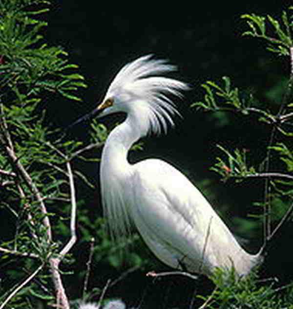 Burung kuntul Besar