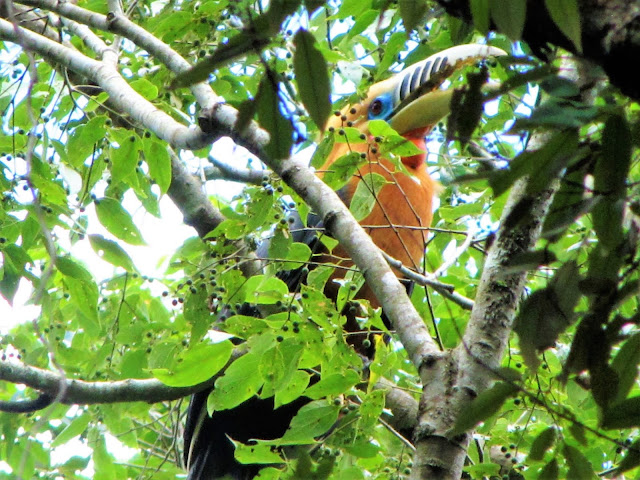rufous necked hornbill nam et phou louey national protected area laos