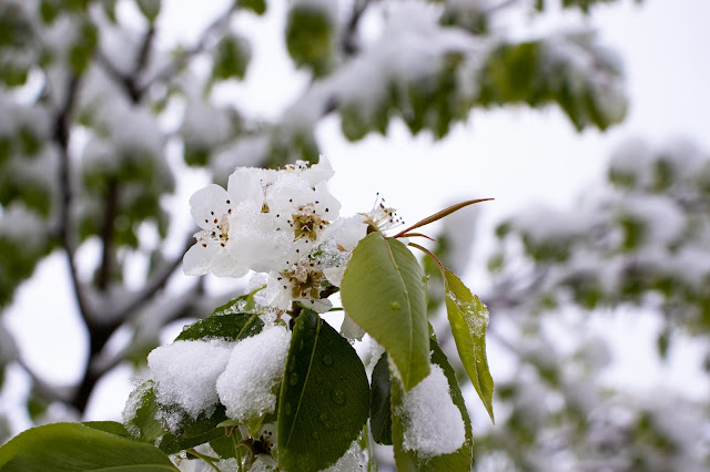 Snow covered pear blossoms with more snow covered branches out of focus in the background.