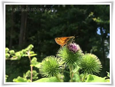 Schmetterling auf Disteln