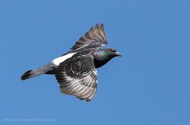 Racing Pigeon in Flight Woodbridge Island Image Copyright Vernon Chalmers Photography
