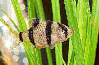 Ikan Sumatra / Tiger Barb ( Systomus tetrazon )
