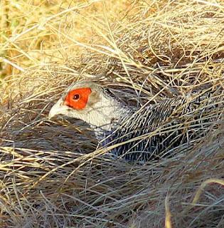 Cheer pheasant - Catreus wallichii