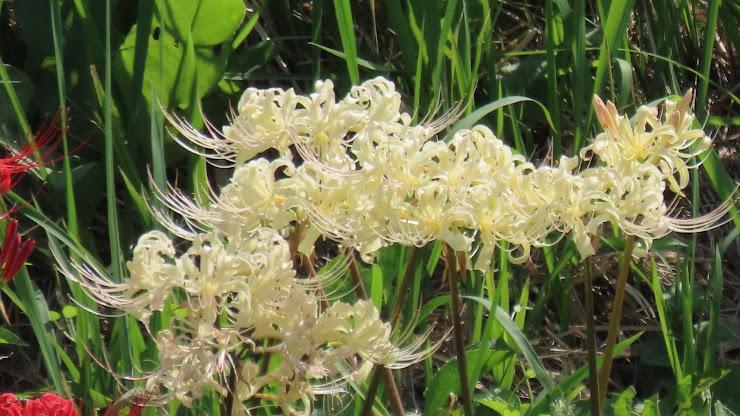 岸辺に咲く白い彼岸花