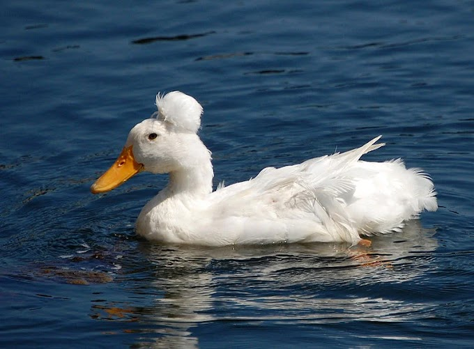 700+ Awesome Duck Names | List of Cute Names For Your Duck