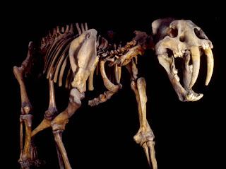 Fósil felino pregistórico Smilodon populator