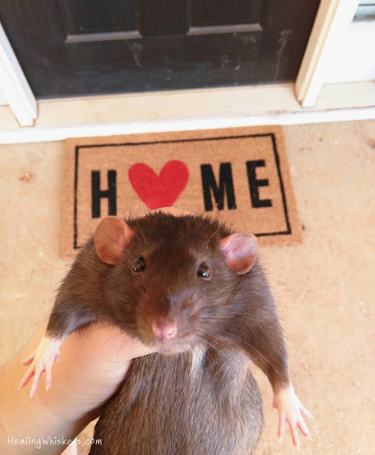 Franklin the therapy rat at home