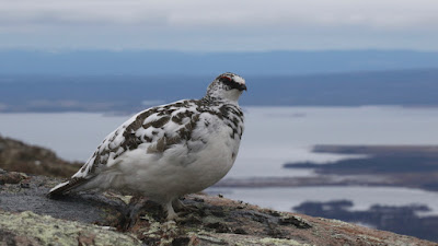 Male Rock Ptarmigan, partially moulted to winter plumage in Newfoundland, Canada