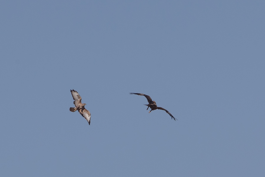 Eastern Imperial Eagle and Steppe Buzzard