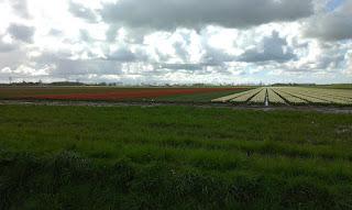 Tulpen in Zeeland