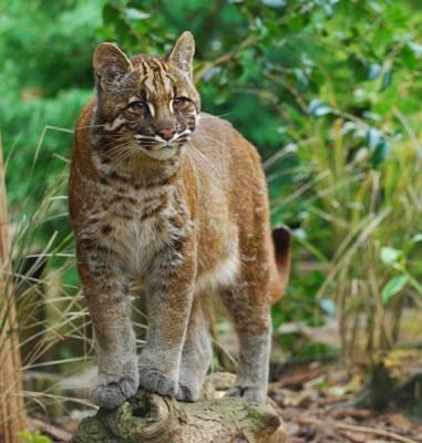 kucing emas asli indonesia