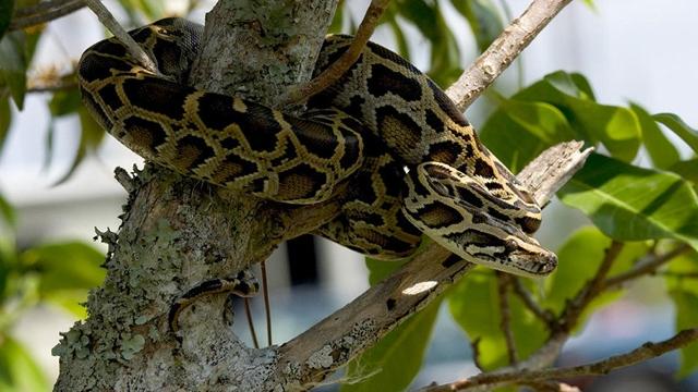 Descubren una 'súper serpiente' en EEUU