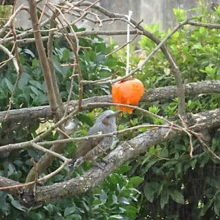 吊るした熟した柿を食べに来たヒヨドリ①