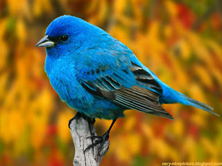 bird wallpapers | birds pictures | beautiful blue bird sittin on a tree