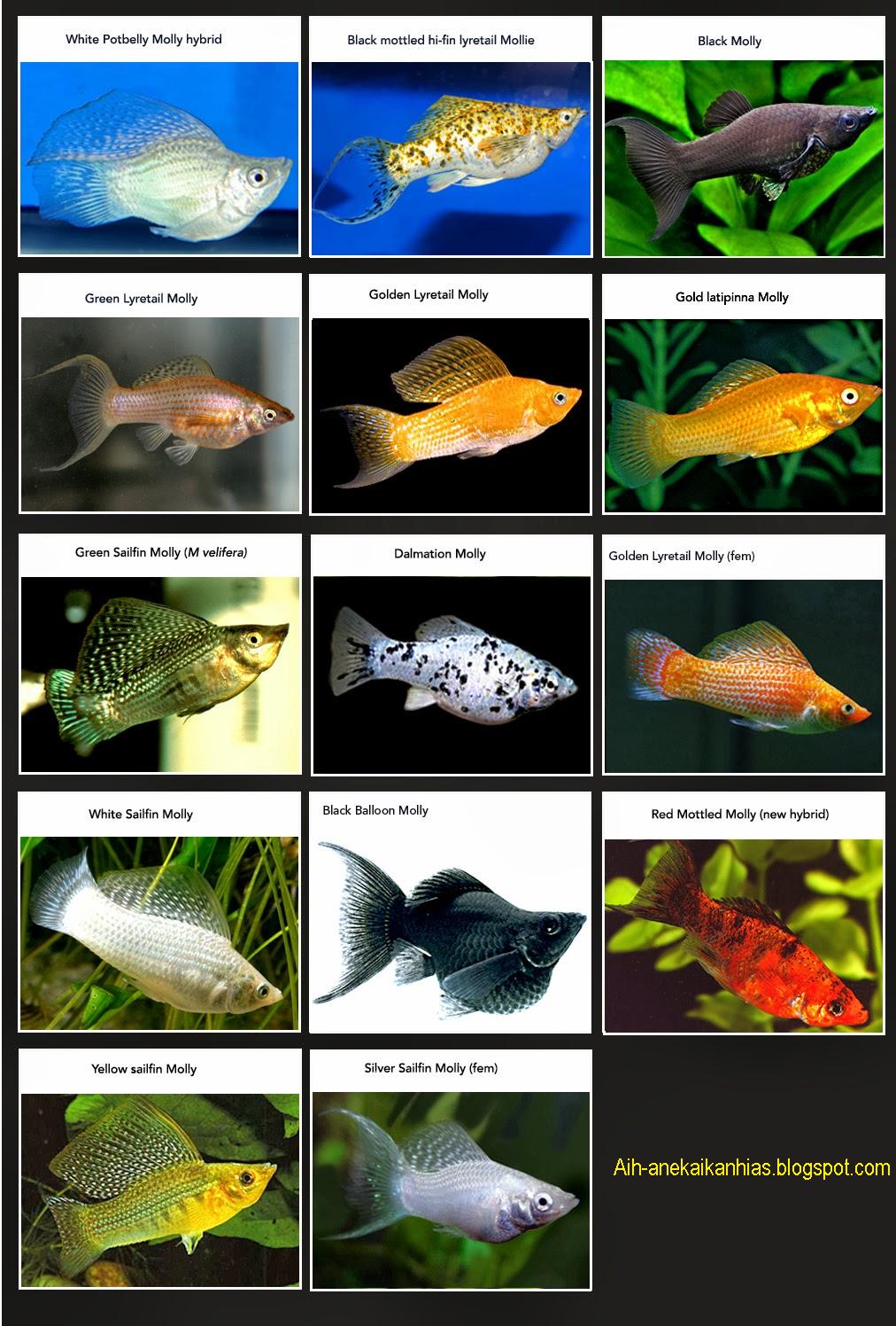 Jenis Jenis Ikan Molly Aneka Ikan Hias