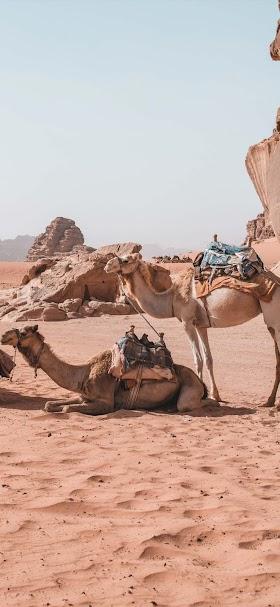 خلفية قافة حمال تسير في وسط الصحراء