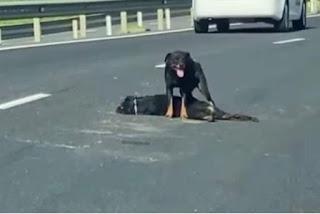 Cachorro é atropelado, e cadela protege o corpo na BR-101
