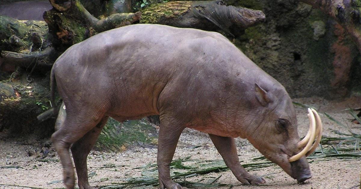 Gambar Binatang Babirusa