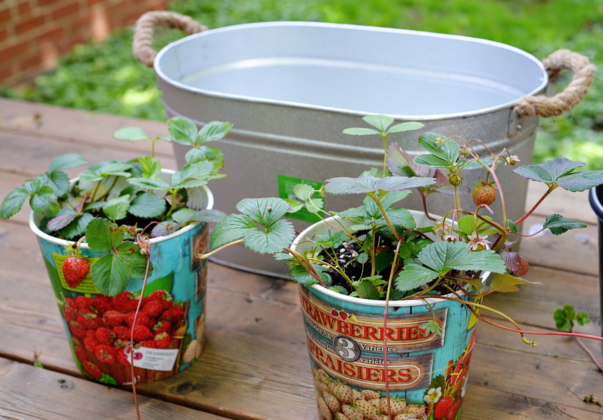 growing strawberry plant in galvanized planter