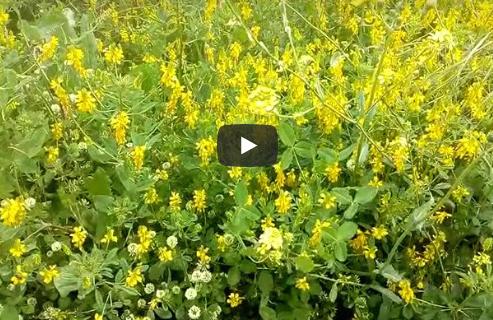 Μέλισσες σε ανυχάκι (αγριοτρίφυλλο)
